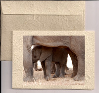 Elephant Dung Cards